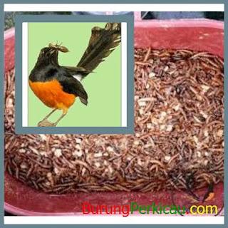 melatih burung bakalan muda agar mau makan voer