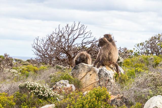 Babuinos en el Cabo de Buena Esperanza, Península del Cabo, Sudáfrica