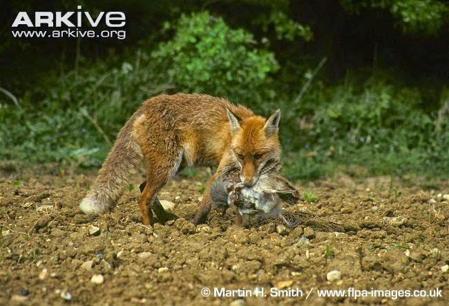 Red fox interactions between birds