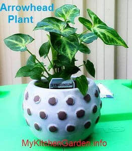 Picture of Arrowhead House Plant