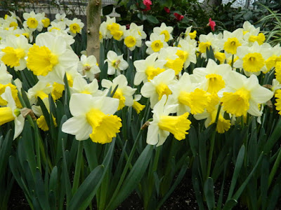 White and yellow trumpet daffodils at Allan Gardens Conservatory 2016 Spring Flower Show by Paul Jung Gardening Services
