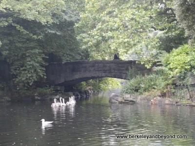 swans on lake in St Stephen's Green park in Dublin, Ireland