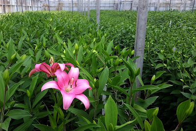 Pink liliies for mother's day