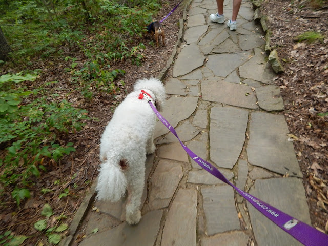 #poodle and #Chihuahua walking on paved path #carmapoodale