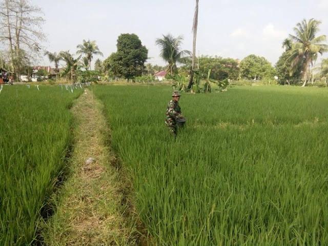 Babinsa dan PPL dampingi Poktan Beringin Perawatan Padi di Desa Bangun Baru