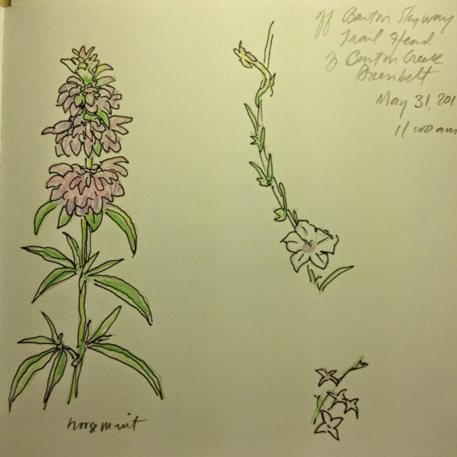 sketch by David Borden of Horsemint and two unknown species