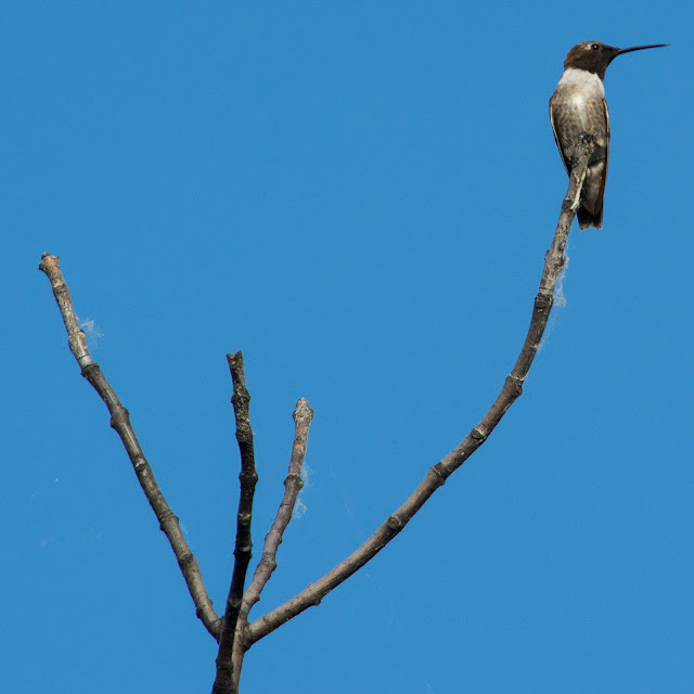 Black-chinned Hummingbird, Cross Timbers Trail