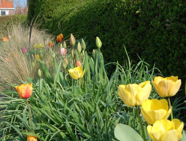 spring garden with yellow tulips