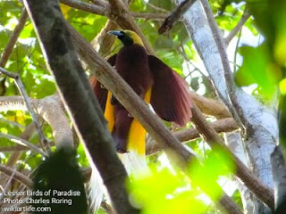 This yellow paradise bird (Cendrawasih Kuning) or Lesser Birds of Paradise lives in the forest of West Papua.