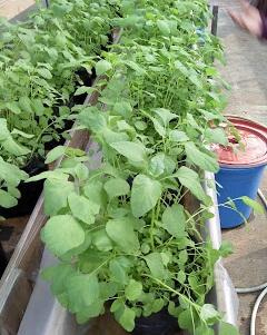 cara menanam tomat di polybag,cara menanam bayam dan perawatannya,cara menanam bayam hijau,cara menanam bayam merah,cara menanam bayam hidroponik,cara menanam bayam cabut,