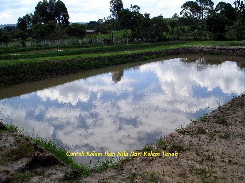 Gambar Contoh Kolam Ikan Nila Dari Kolam Tanah Lengkap Dengan Kelebihan Dan Kekuranganya