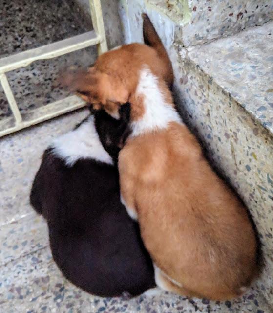 Sourajit Saha With Puppies 5