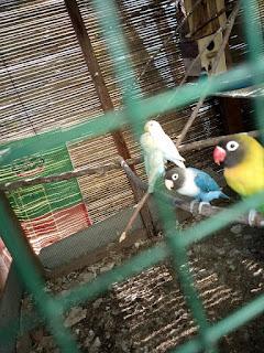 cara perawatan kandang lovebird