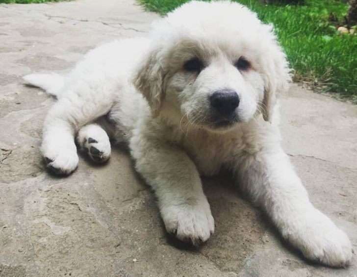 Kuvasz Klips Kuvasz Is On List Of 17 Adorable Rare Dog Breeds