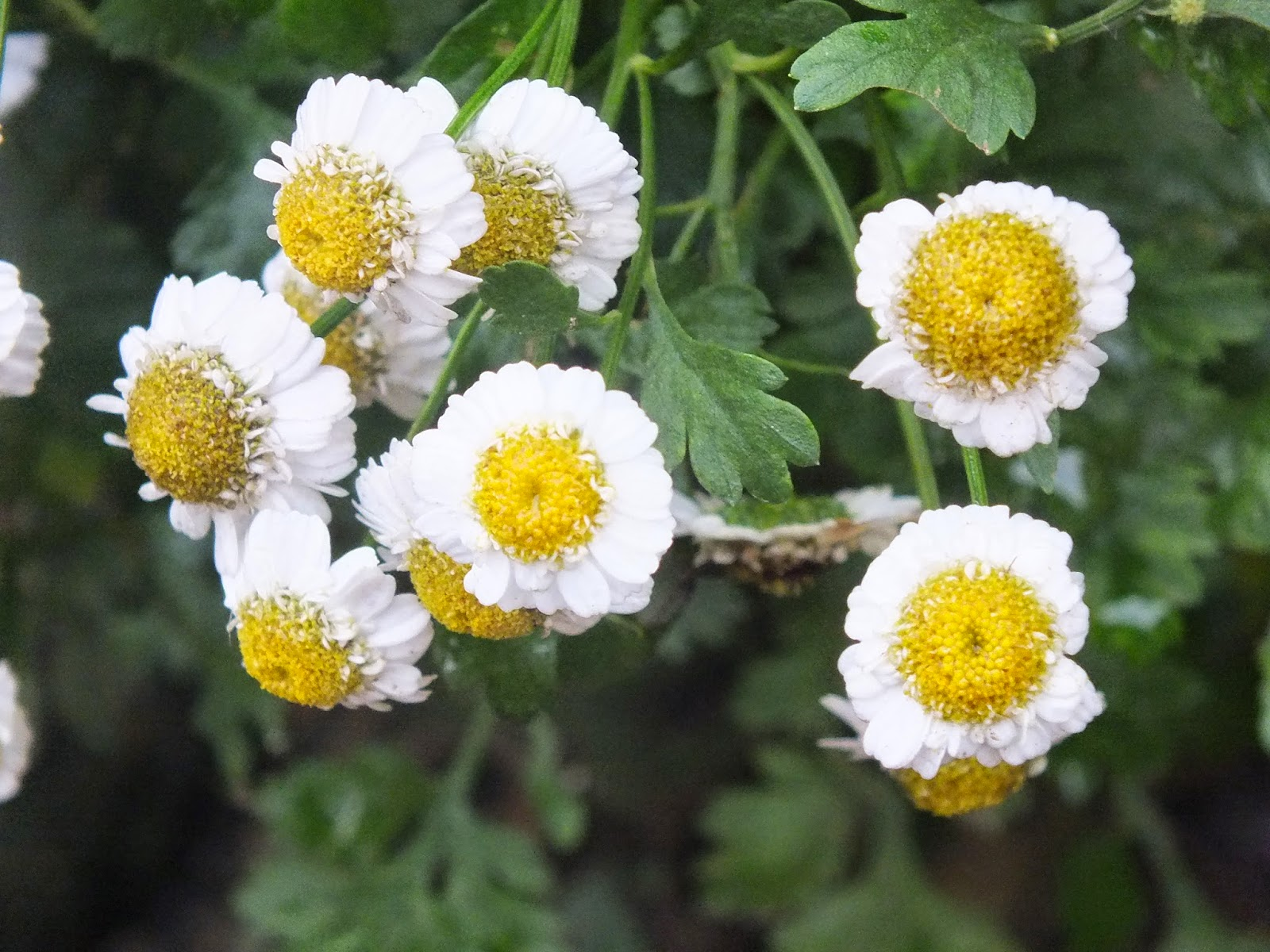 white and yellow, white and yellow flower