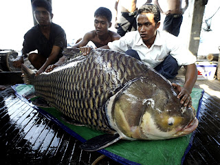 Big Fishes Of The World Giant Siamese Barb Carp