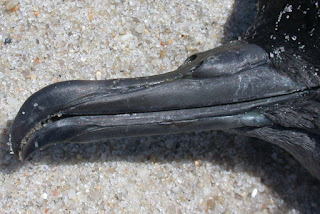 Sooty Shearwater nostrils