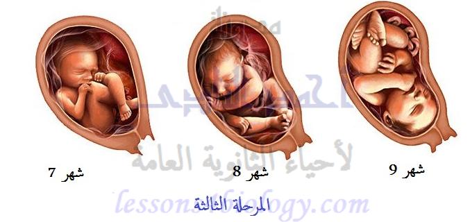 المرحلة الثالثة من مراحل الحمل