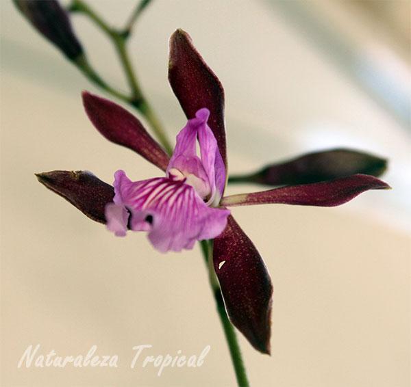 Flor de Encyclia phoenicea, Orquídea de Chocolate