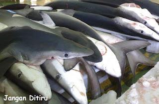 tumpukan ikan blue shark banyak mati di tangan manusia