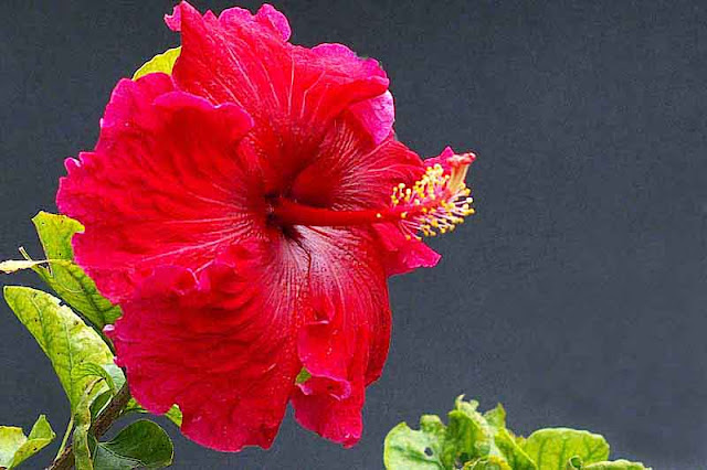red hibiscus, flower, black background, leaves