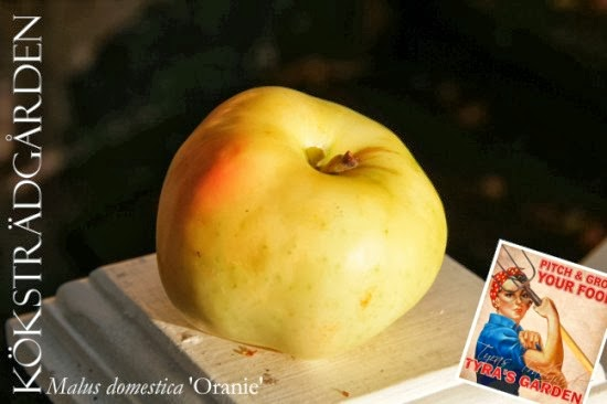 ingrid marie äppelträd pollinering