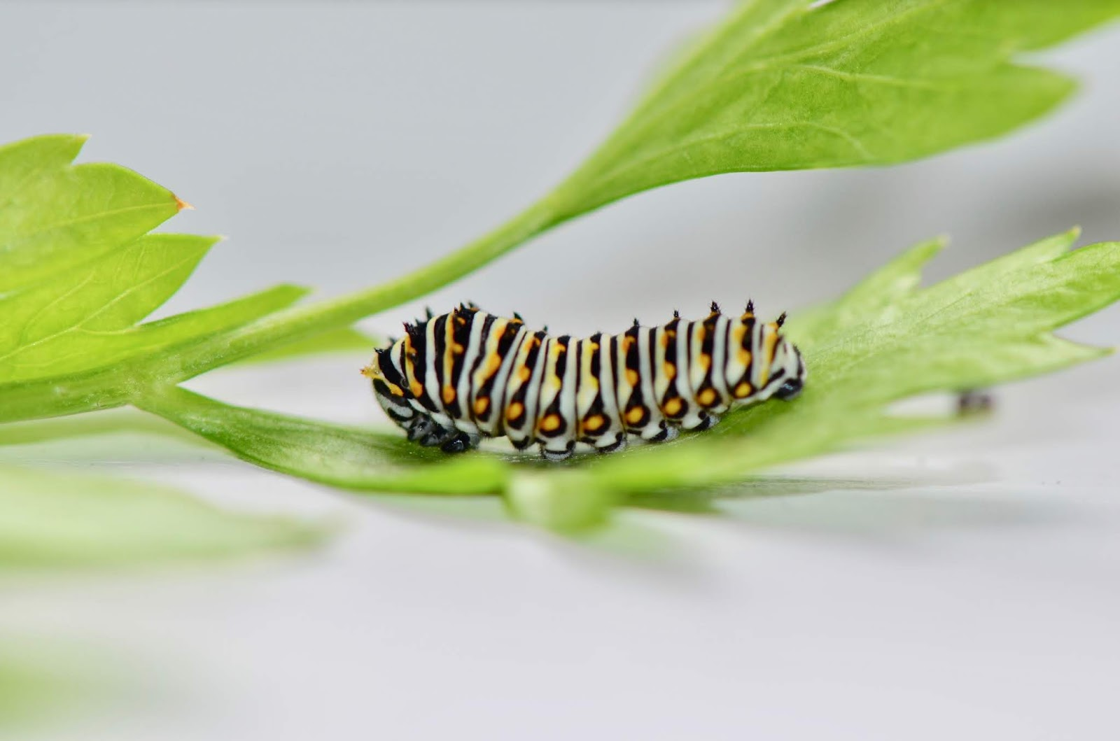 urban wildlife guide caterpillar decisions rh urbanwildlifeguide net Caterpillars Identification Guide Swallowtail Caterpillar