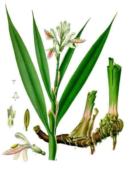 Riềng - Alpinia officinarum - Nguyên liệu làm thuốc Chữa Bệnh Tiêu Hóa