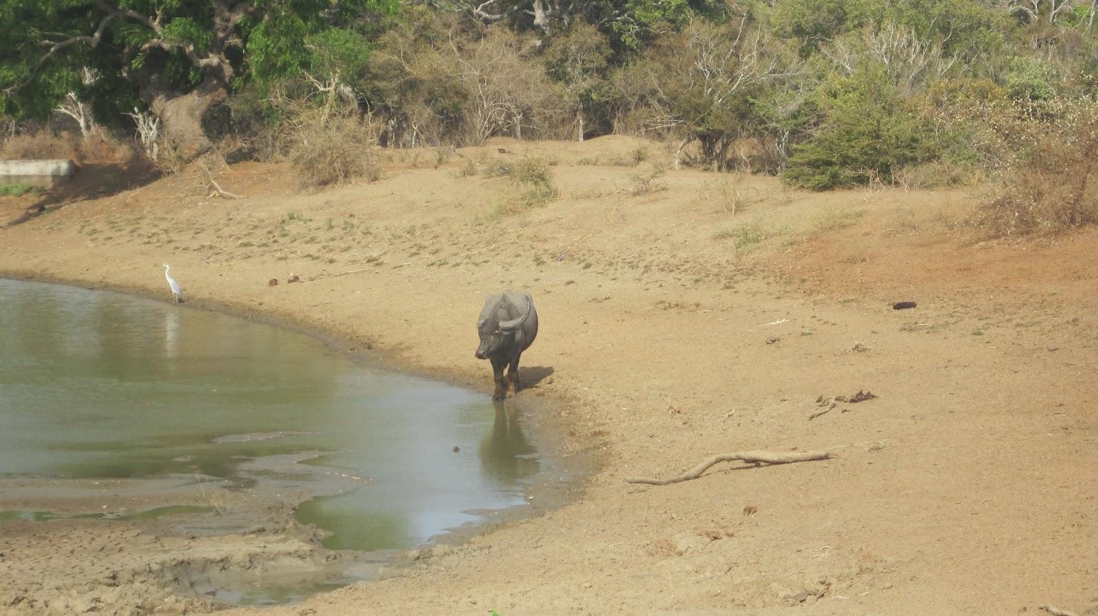 Búfalo en el Parque Nacional de Yala (Sri Lanka)
