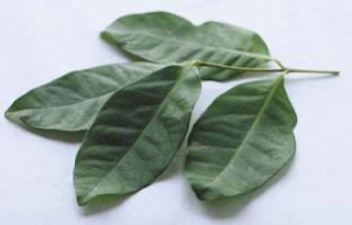 daun salam Obat Herbal Tradisional Penurun Asam Urat