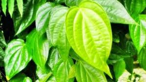 Health Benefits of Betel Leaves that are rarely known - Healthy T1ps