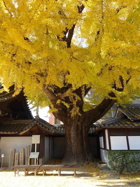 守口市 難宗寺(なんしゅうじ) 推定樹齢500年イチョウの黄葉