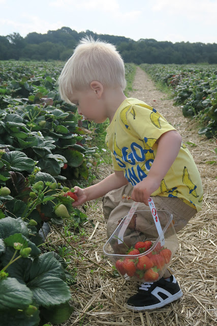 Alexander picking strawberries