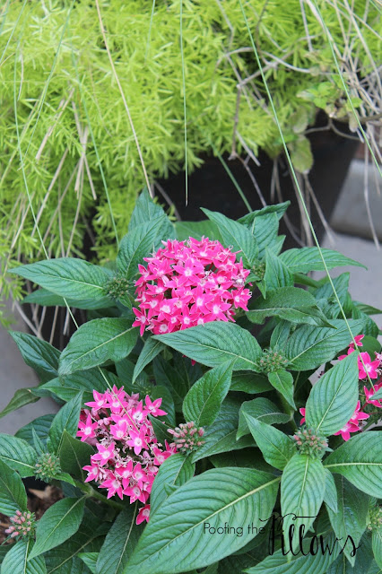 Pentas, Texas gardener, summer sun lovers