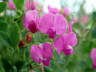 Душистый горошек - цветок Галины