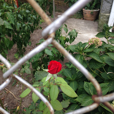 Late summer rose in bloom behind chain link fence near Forest Hills Boston