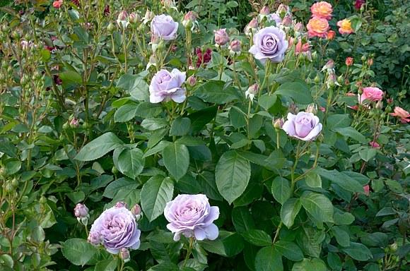 Novalis сорт розы купить саженцы в Минске фото