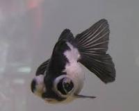 varian warna Jenis Ikan Mas Koki