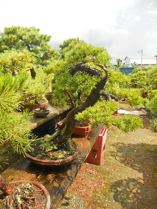Walter Pall Bonsai Adventures: 30 Japanes trees for sale