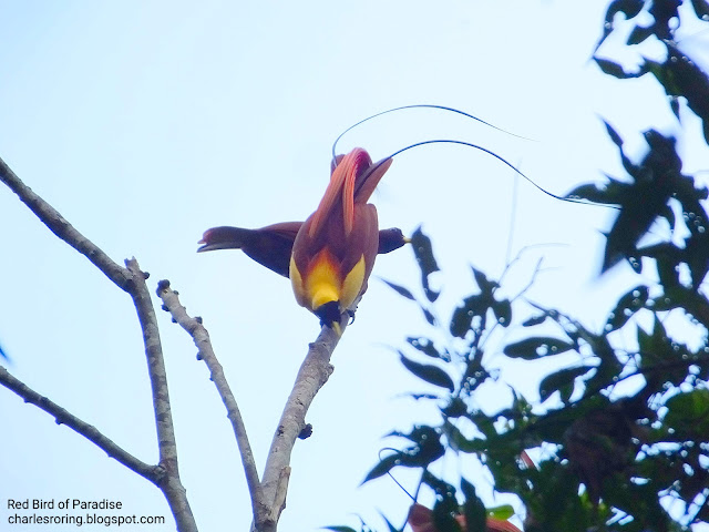 red bird of paradise courtship dance