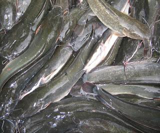 Budidaya-Ikan-Lele-Organik-Nasa