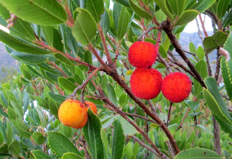 Vom Erdbeerbaum können Sie das ganze Jahr über leckere Früchte essen !