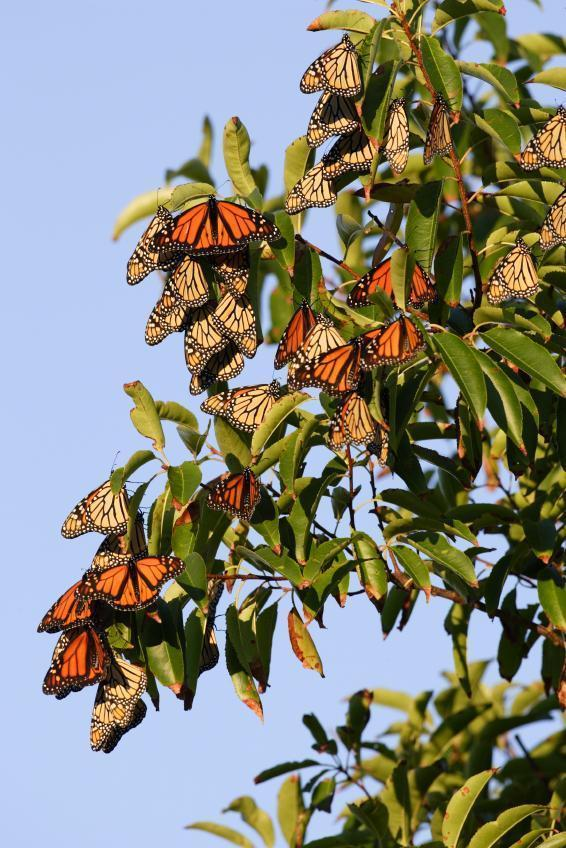 Monarch butterfly migration tree - photo#39