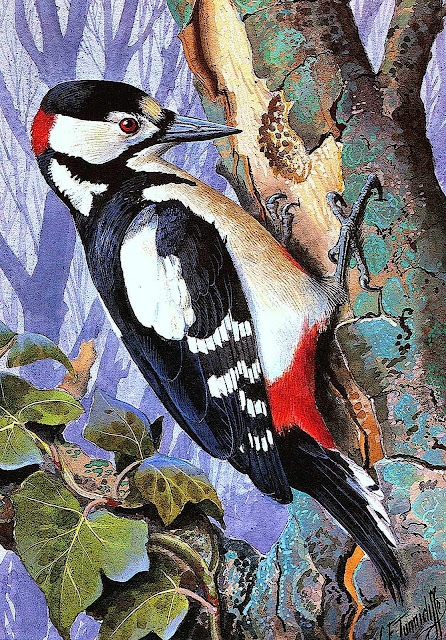 Charles F. Tunnicliffe illustration of a woodpecker