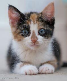 Alasan Ilmiah Mengapa Kucing Tiga Warna Tidak Pernah Berusia Lama
