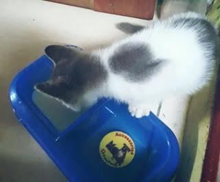 Susu Untuk Kucing Kampung