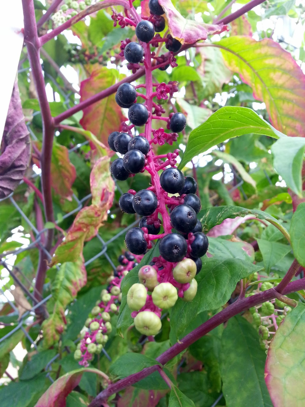 Ben S Journal Name That Plant Red Stems With Clusters Of Berries