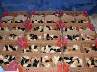 Tips Memilih Bibit Ayam Kampung Pedaging
