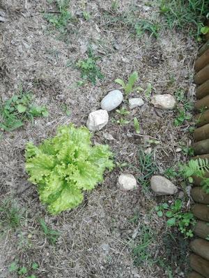 Orto di maggio: lattuga.