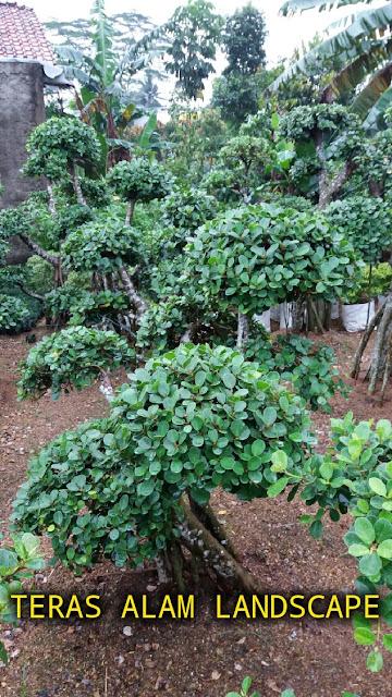 tukang pohon bonsai beringin korea